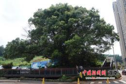 """长沙雨花区辖内""""树王""""已达400岁"""