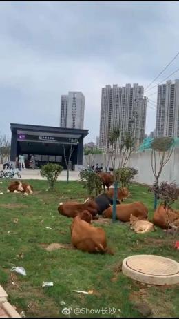 太煞風景!長沙一地鐵站旁草坪竟成了牛群棲息地