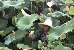 湘潭花石鎮大力發展湘蓮產業,成為全國最大湘蓮集散、貿易中心,遠銷海外