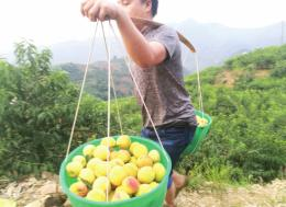 走進湖南農業特色小鎮 | 20畝黃桃年收入近20萬!麻陽160多個貧困戶積極通過産業增收脫貧