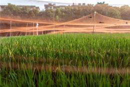 气象服务助力杂交稻栽培
