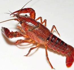 湖南人爱吃虾也会养虾 湖南小龙虾产量占全国第二
