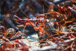 """各地打造地方特色公共区域品牌,谁将成为小龙虾产业里的""""华为"""""""