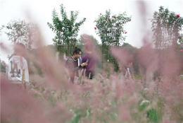 湖南省植物园又成了网红,原因是这片粉红色花海